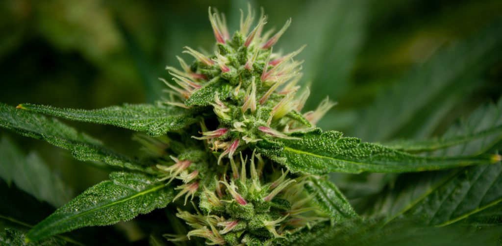 closeup of hemp flower with trichomes visible