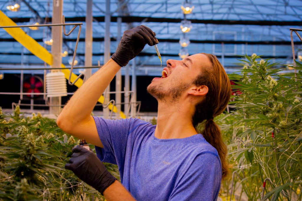 Man dropping CBD oil into mouth between hemp plants