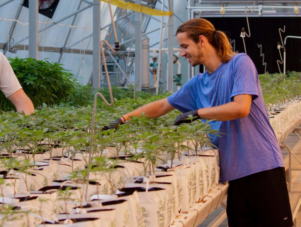 man tending to young hemp plants