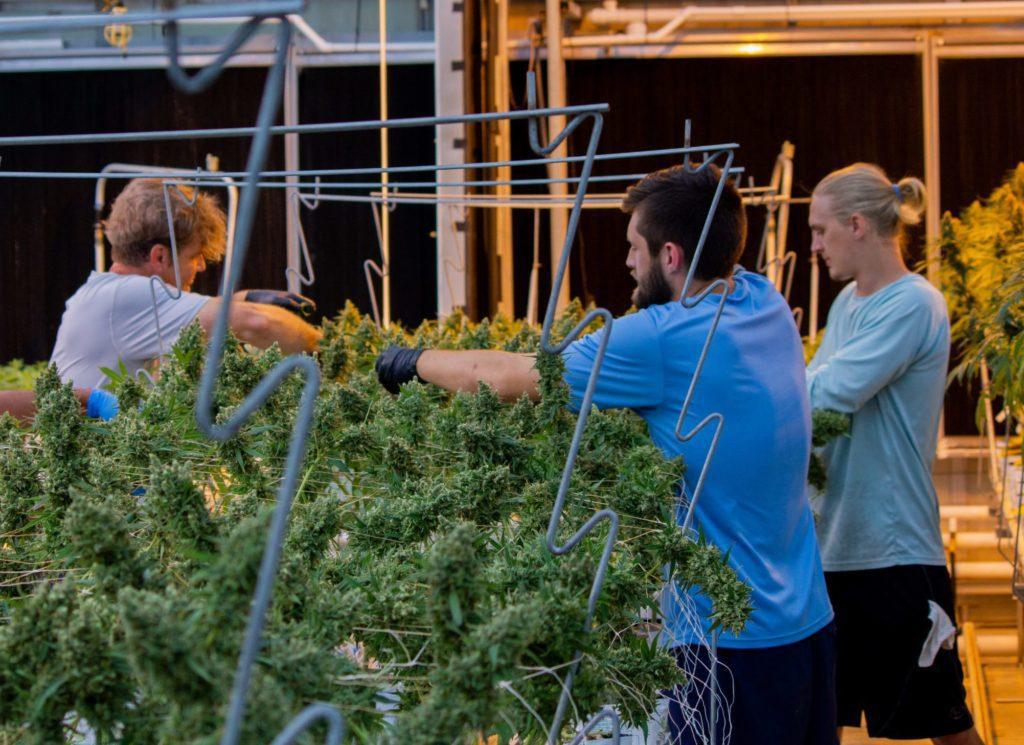 three guys tending to hemp flower