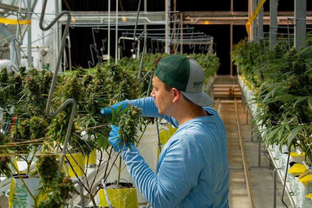 man tending to Hemp flower inside hemp Farm